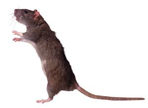 Bridgwater Mercury: Can you help us trap the web vote rat?