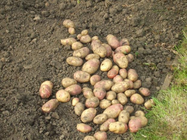 Spotlight on spuds at Monkton elm