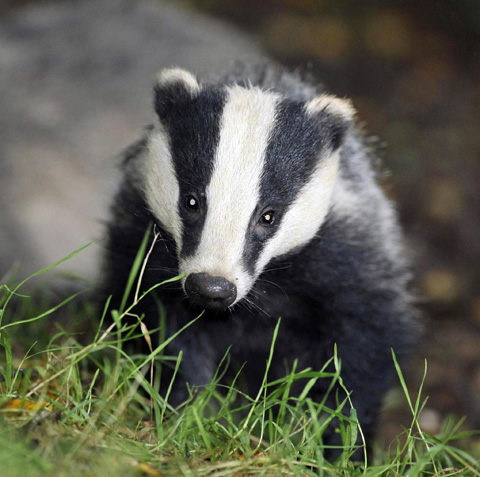 Government to make announcement on controversial badger cull