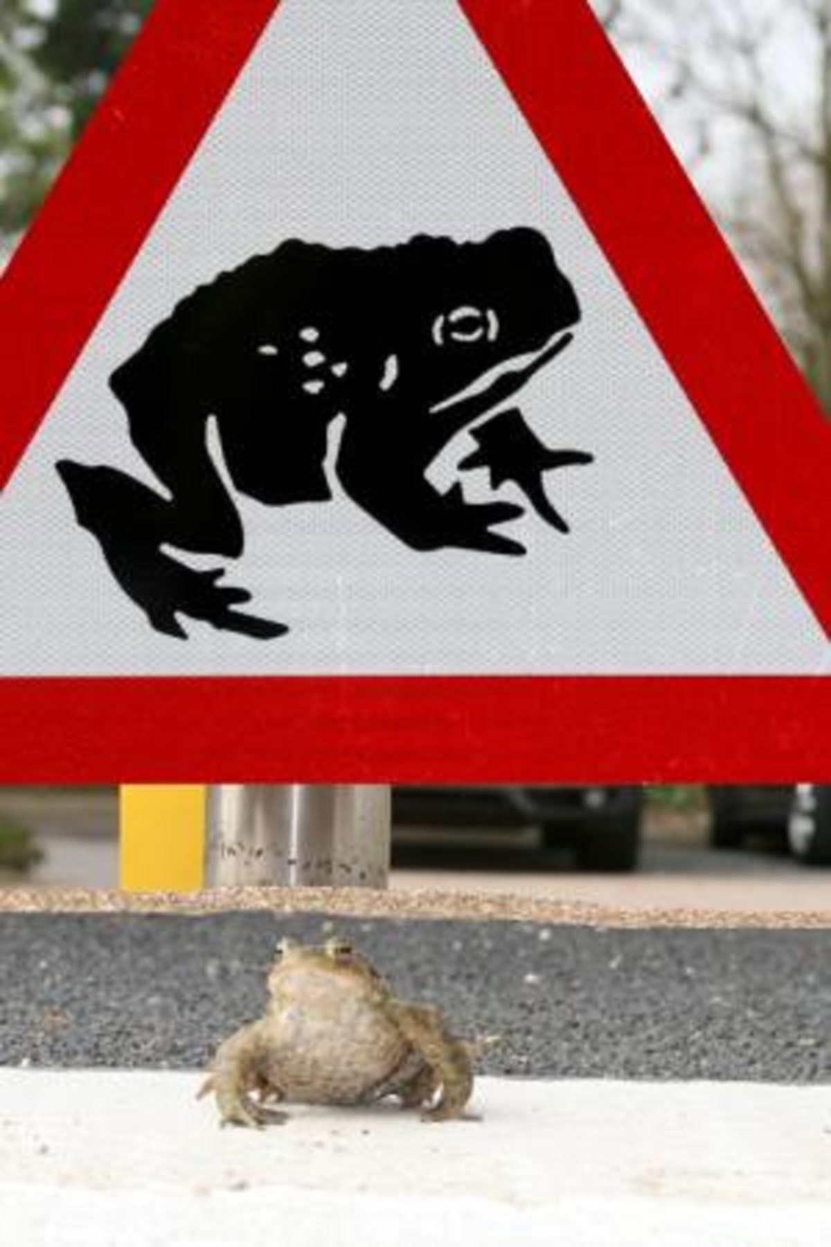 Volunteers needed to save the toads from crossing the road.