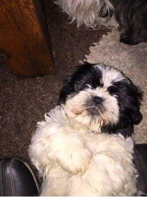 Have You Seen Missing Puppy Sooty 10 Week Old Shih Tzu Was Last