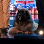 Bridgwater Mercury: Hagrid the 13-stone dog will attempt to break a world record on BGMT