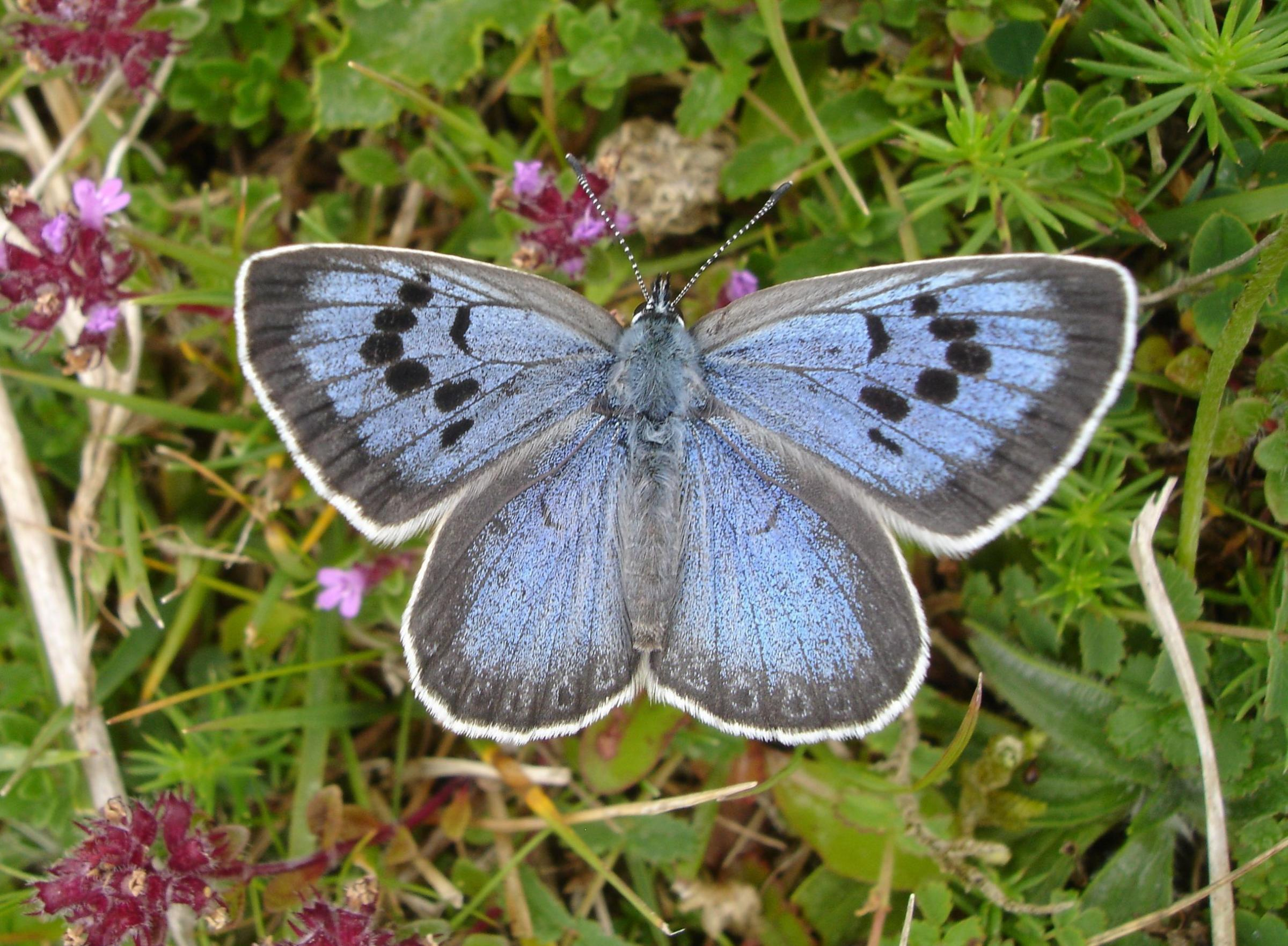 Undated handout photo issued by the Butterfly Conservation of a Large Blue butterfly, as Phillip Cullen, 57,  has appeared in court charged with capturing, killing and possessing specimens of the UK's rarest butterfly. PRESS ASSOCIATION Photo. Issue d