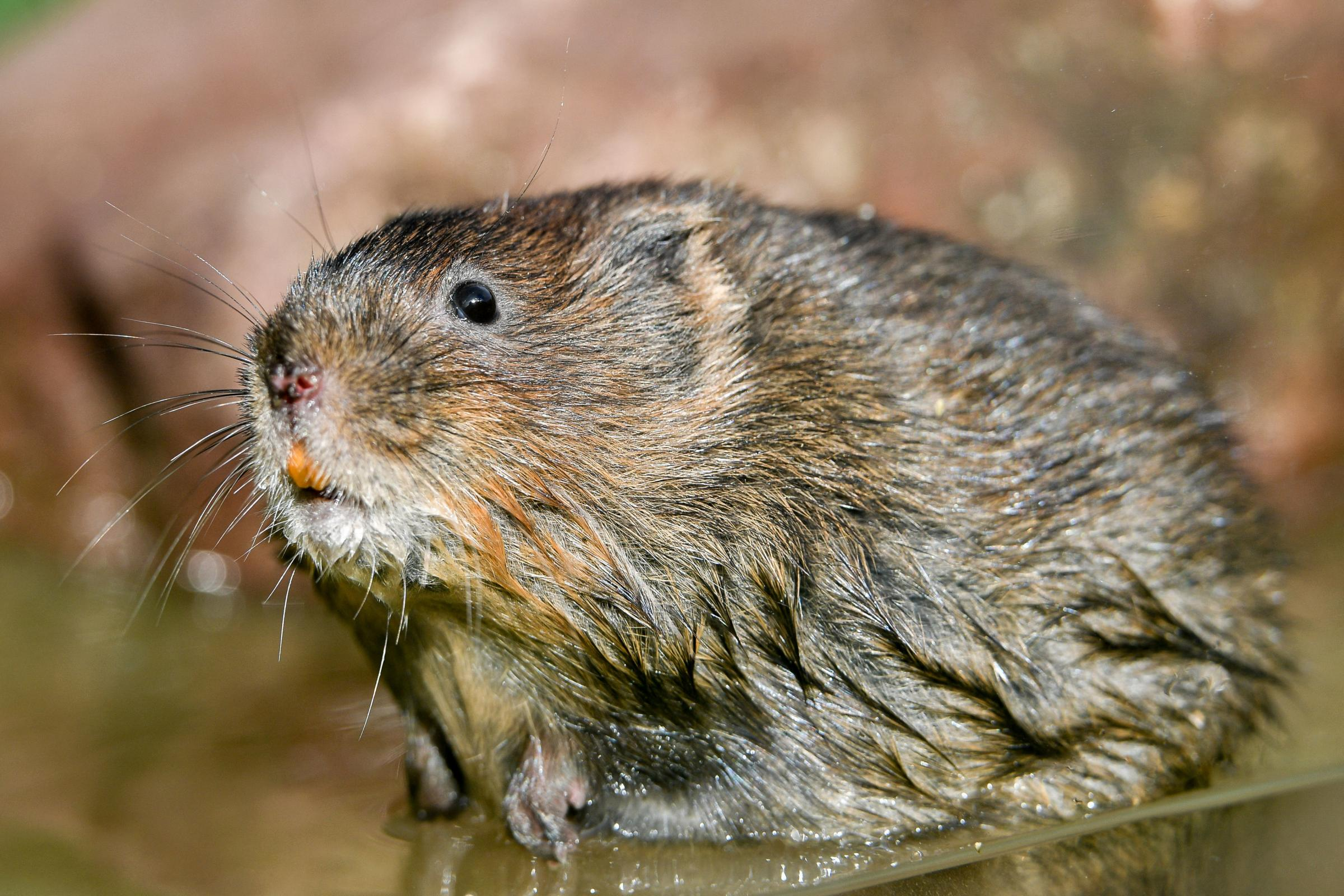BACK ON EXMOOR: Water voles, a scheme which has been shortlisted for the awards. PICTURE: Ben Birchall/PA Wire