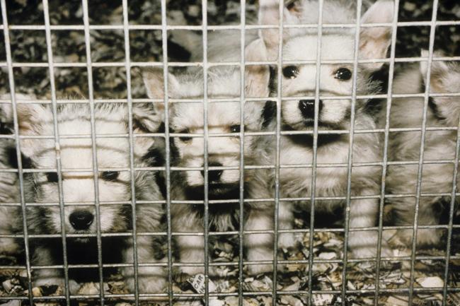 CAGED PUPPIES: Archive photo